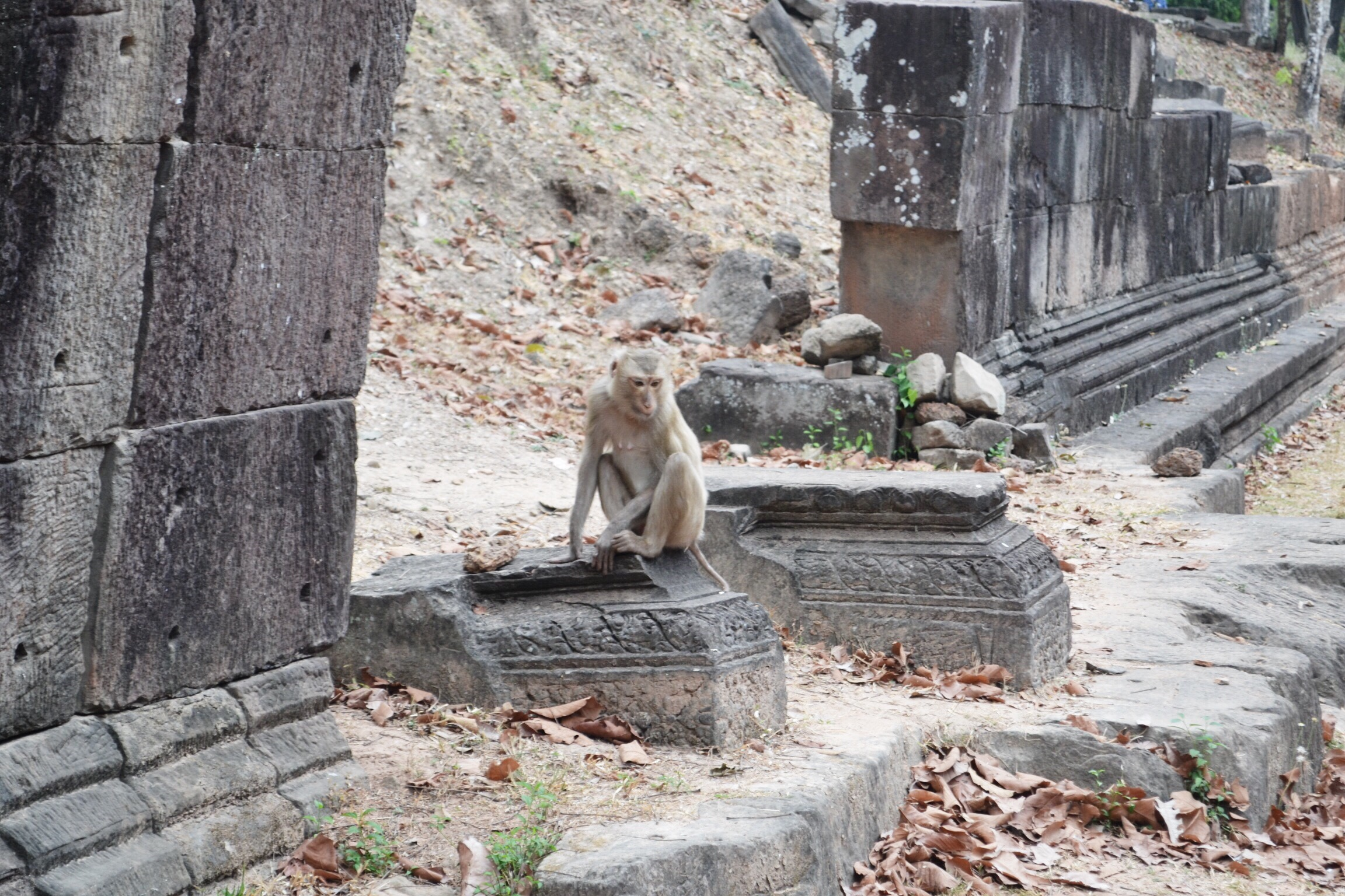 image of monkey in Angkor wat in Cambodia