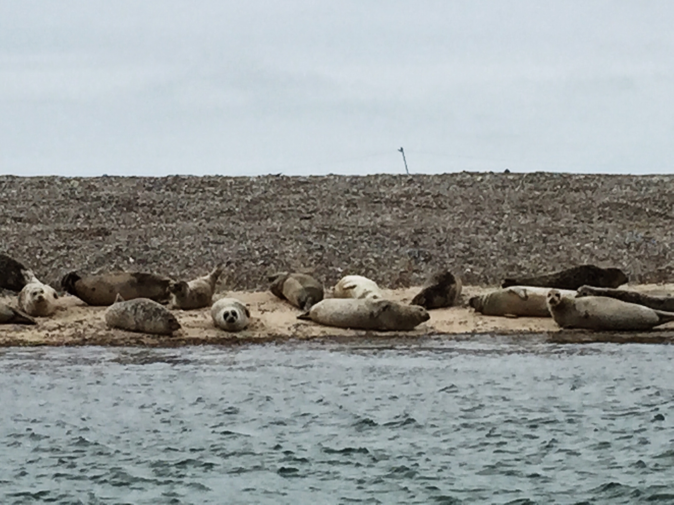 image of seals on blakeney point in North Norfolk