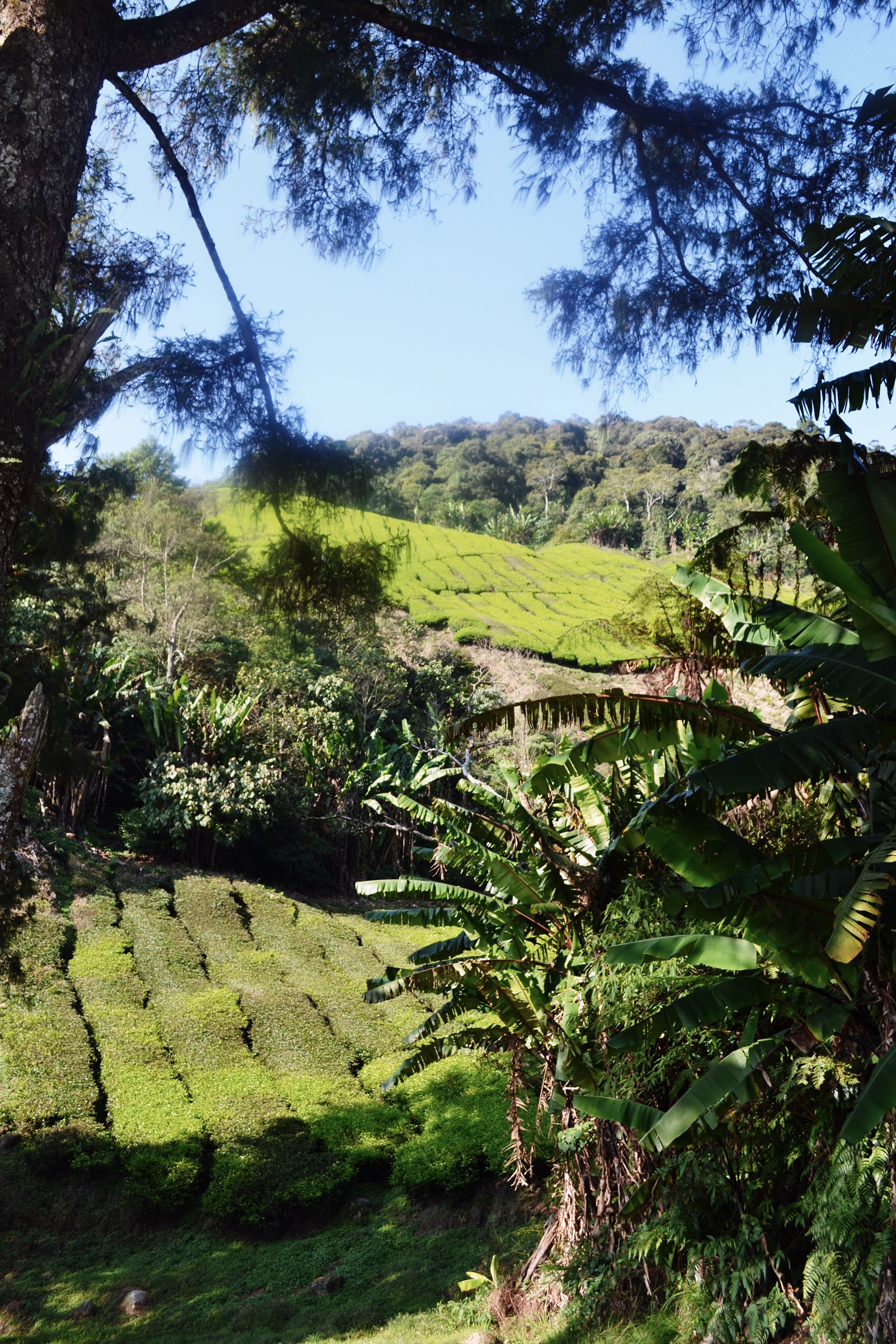 image of the Cameron Highlands in Malaysia
