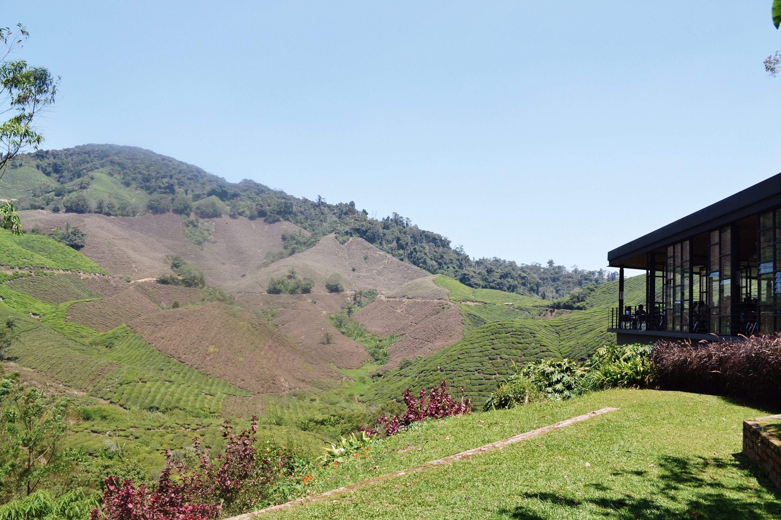 Image of Boh Tea plantation in Malaysia