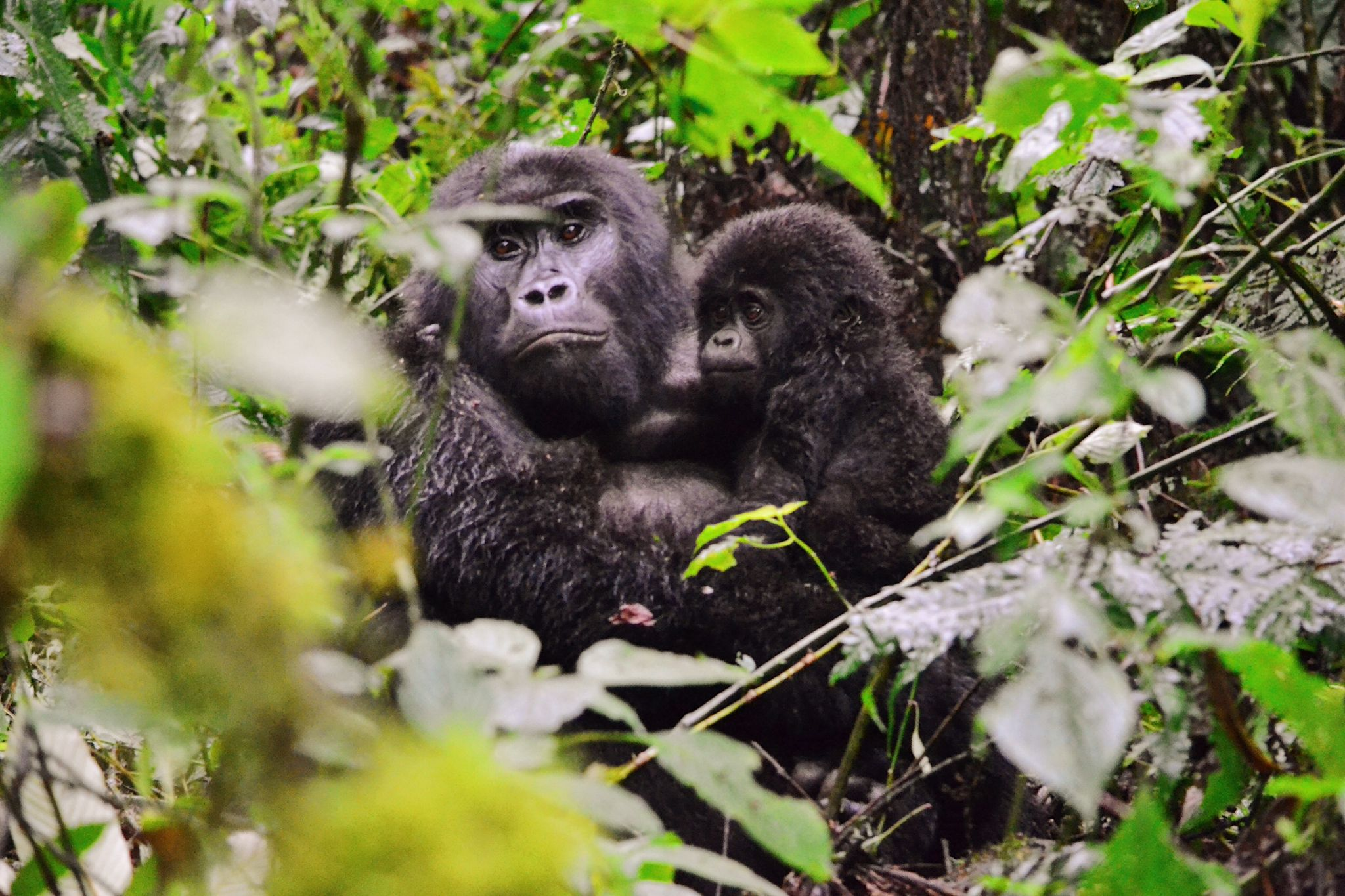 mother and infant gorilla seen gorilla trekking in Uganda