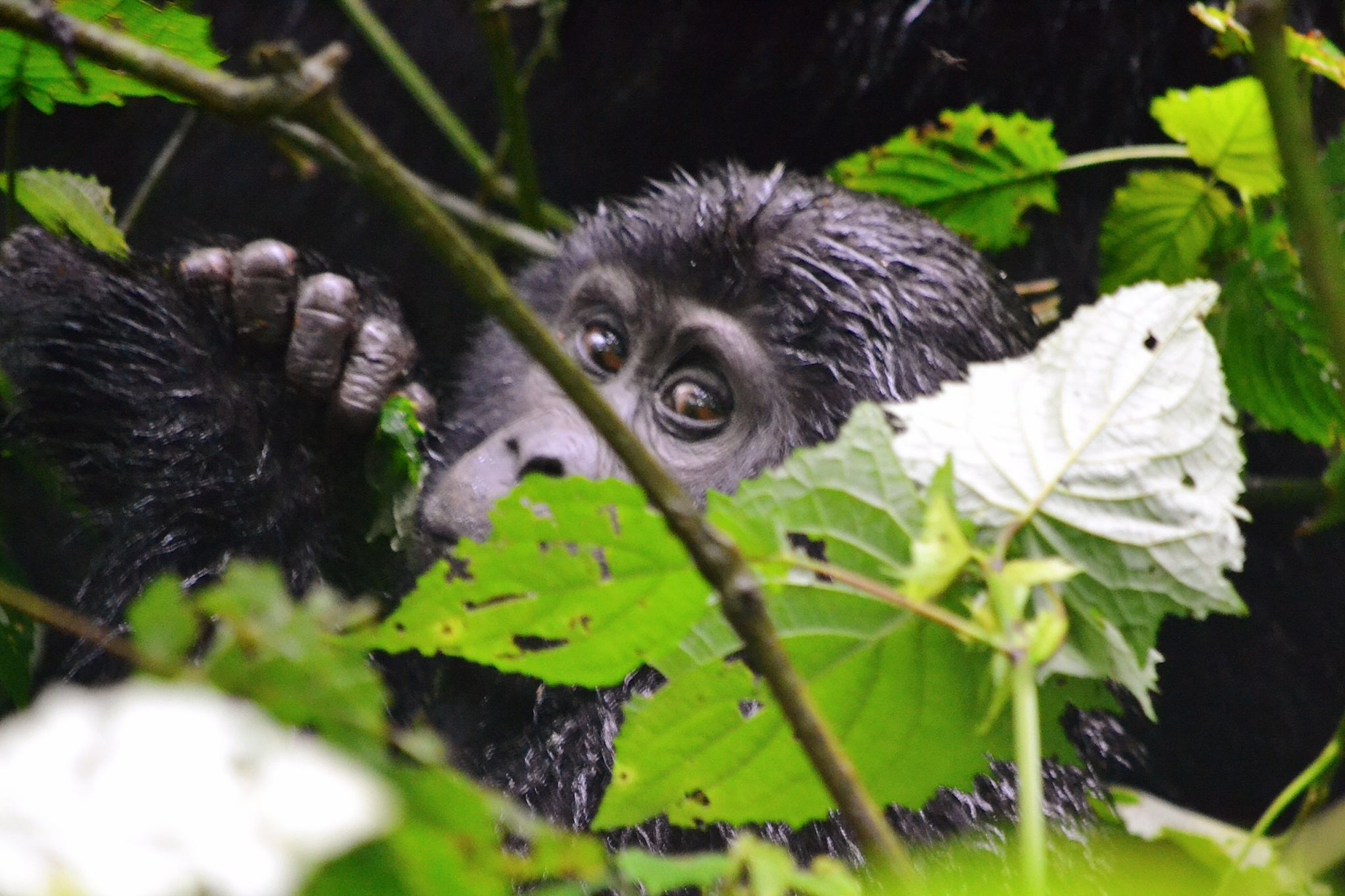 image of gorilla peering through the leaves when gorilla trekking