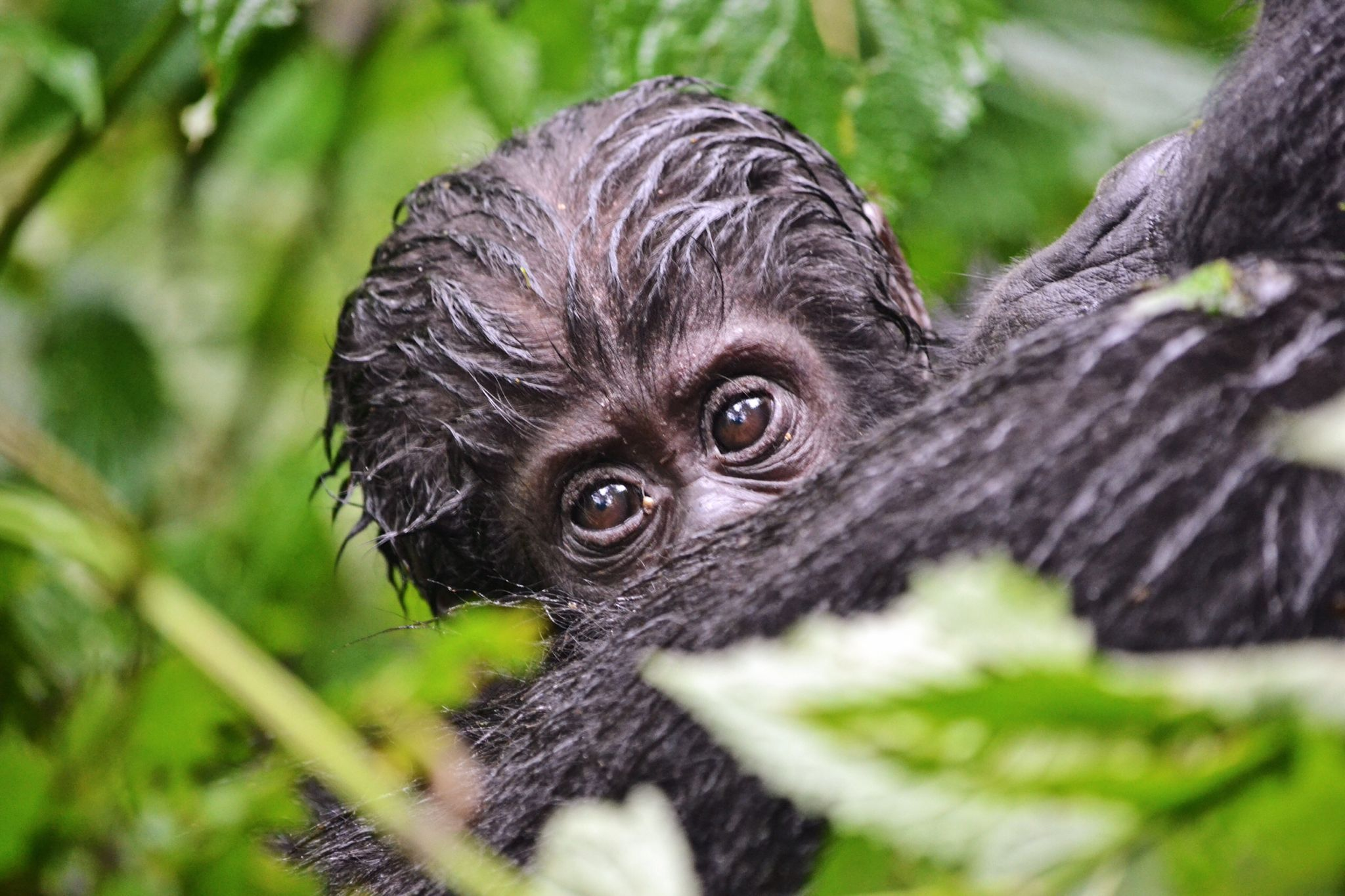 image of Infant gorilla seen when gorilla trekking in Uganda