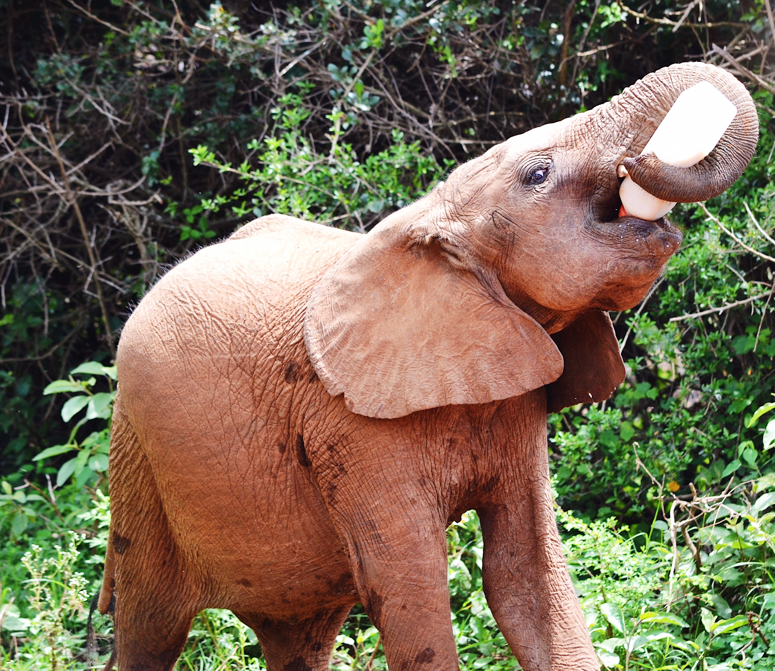Image of Elephant calf feeding in Nairobi