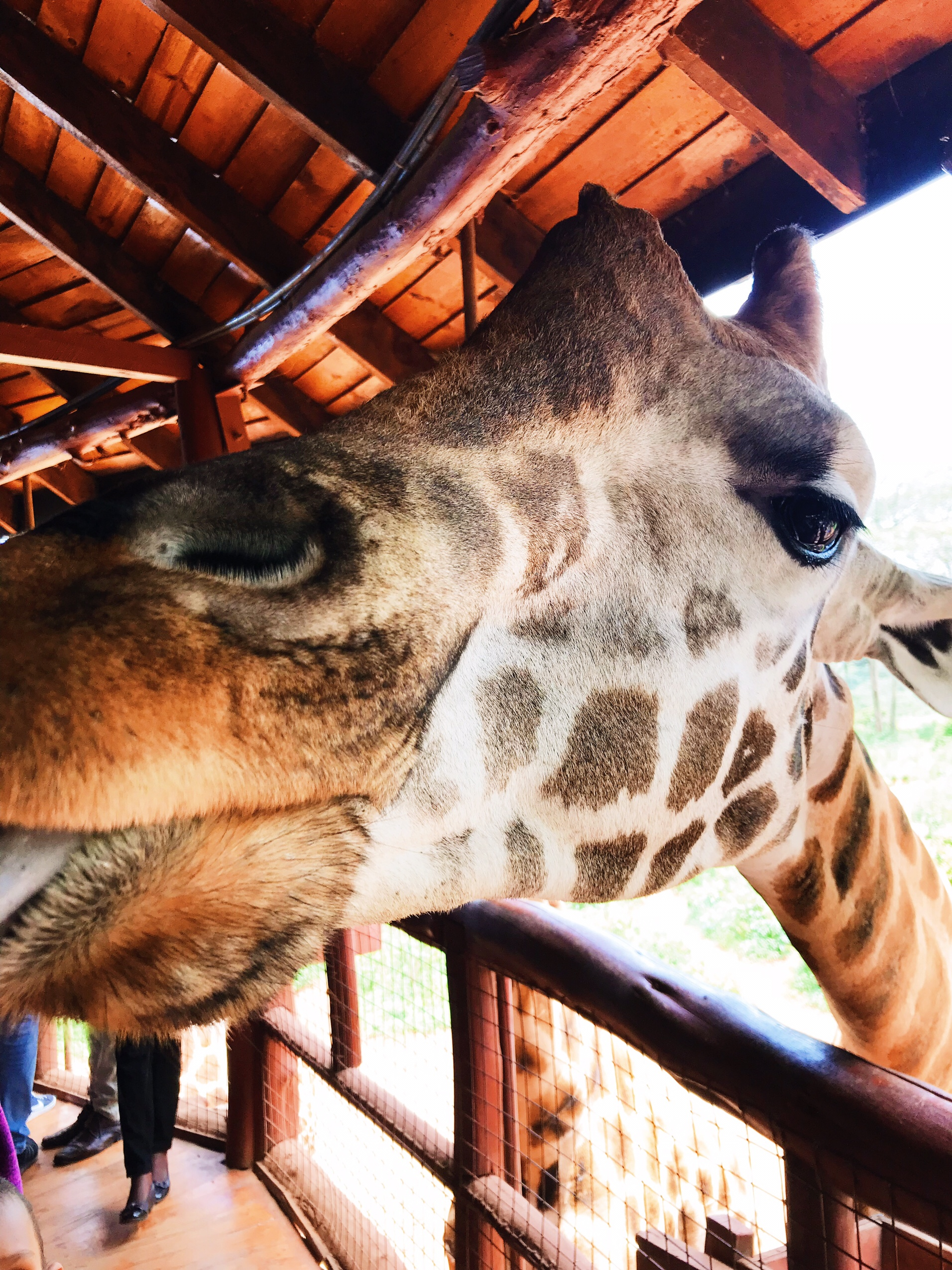 Image of close up giraffe in Nairobi