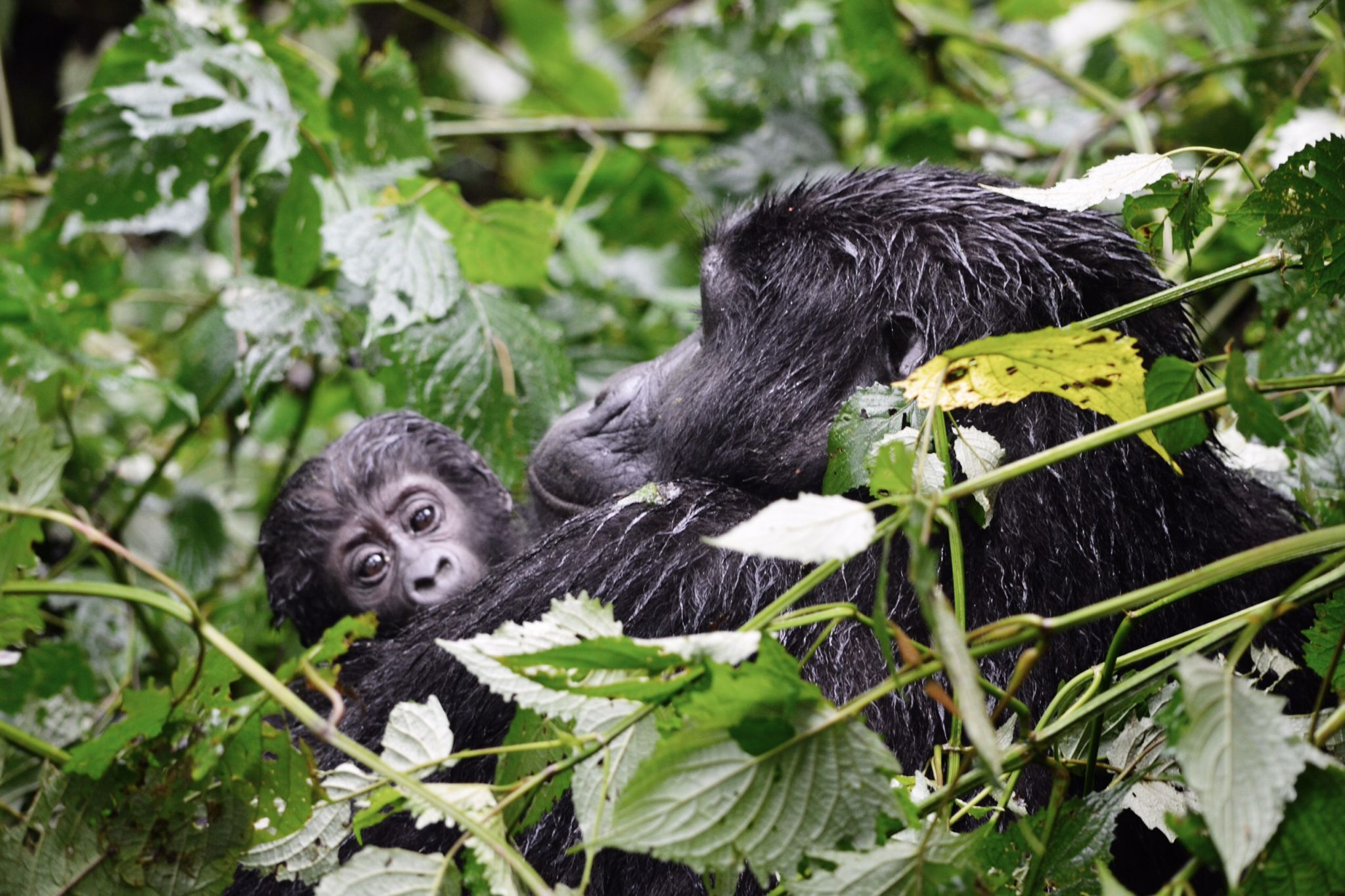 image of mother and infant gorilla