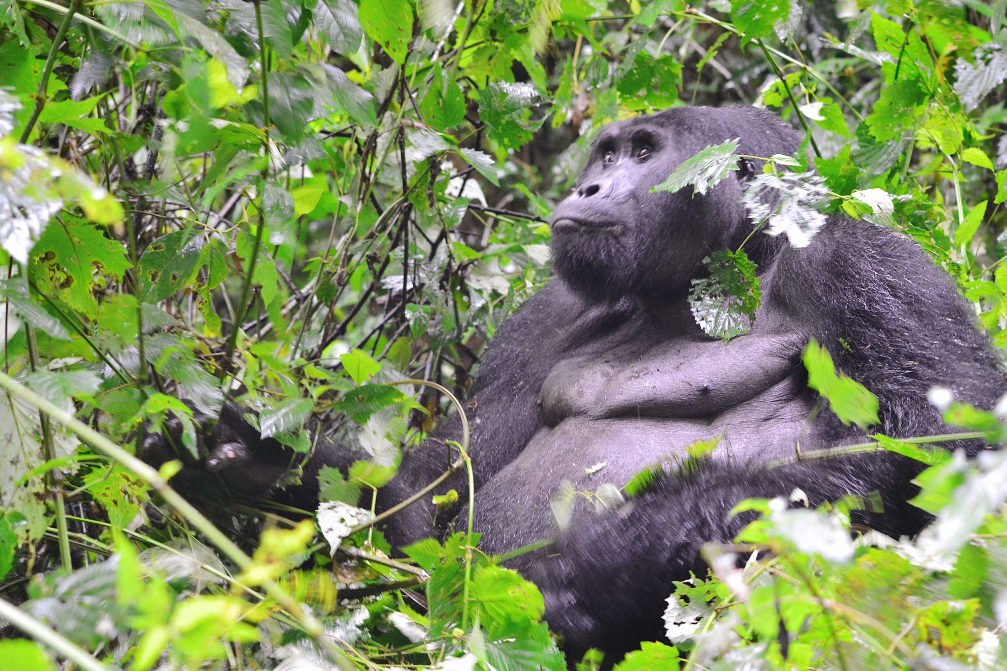 image of silverback in Bwindi Impenetrable forest