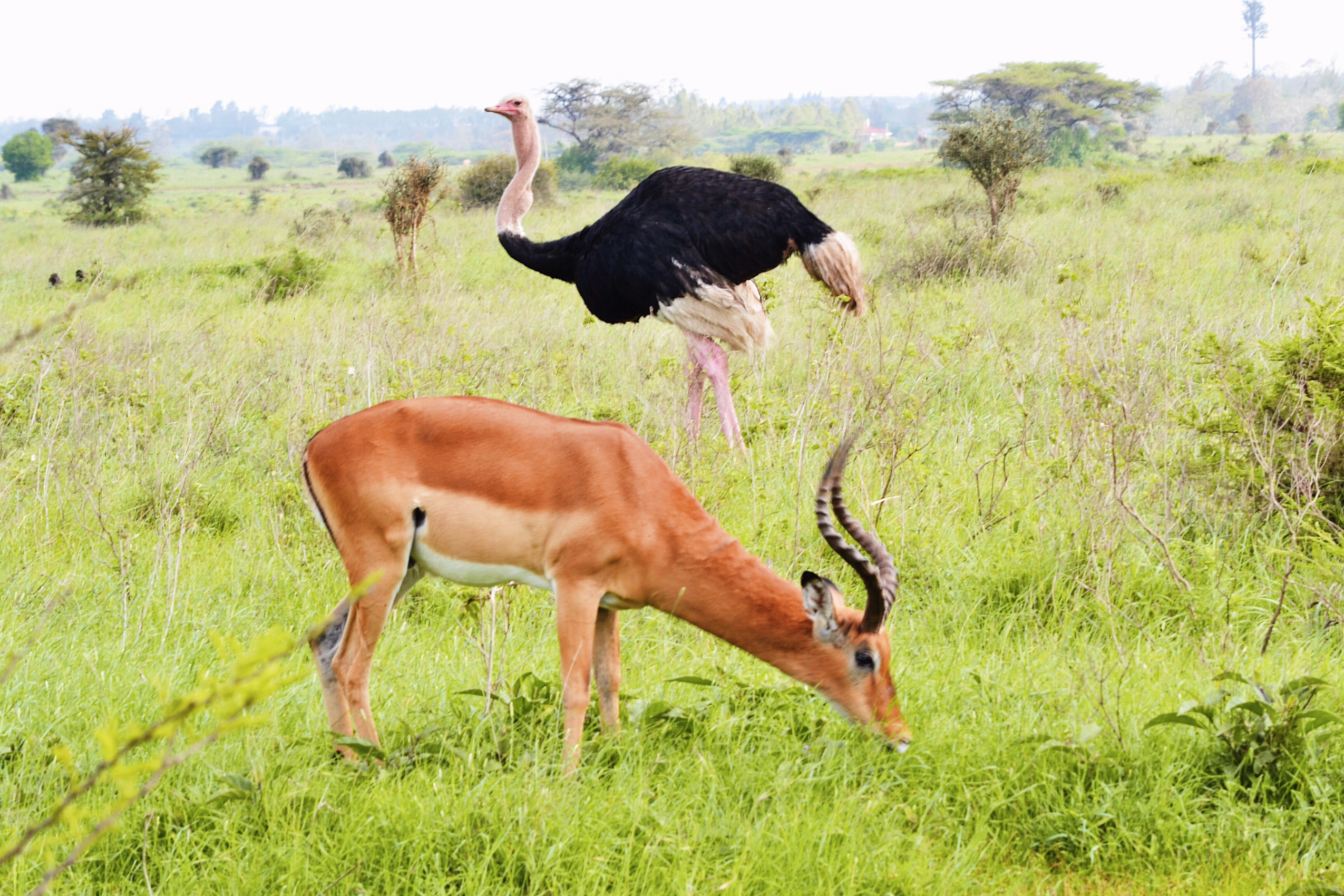 image of impala and ostrich in Nairobi National Park
