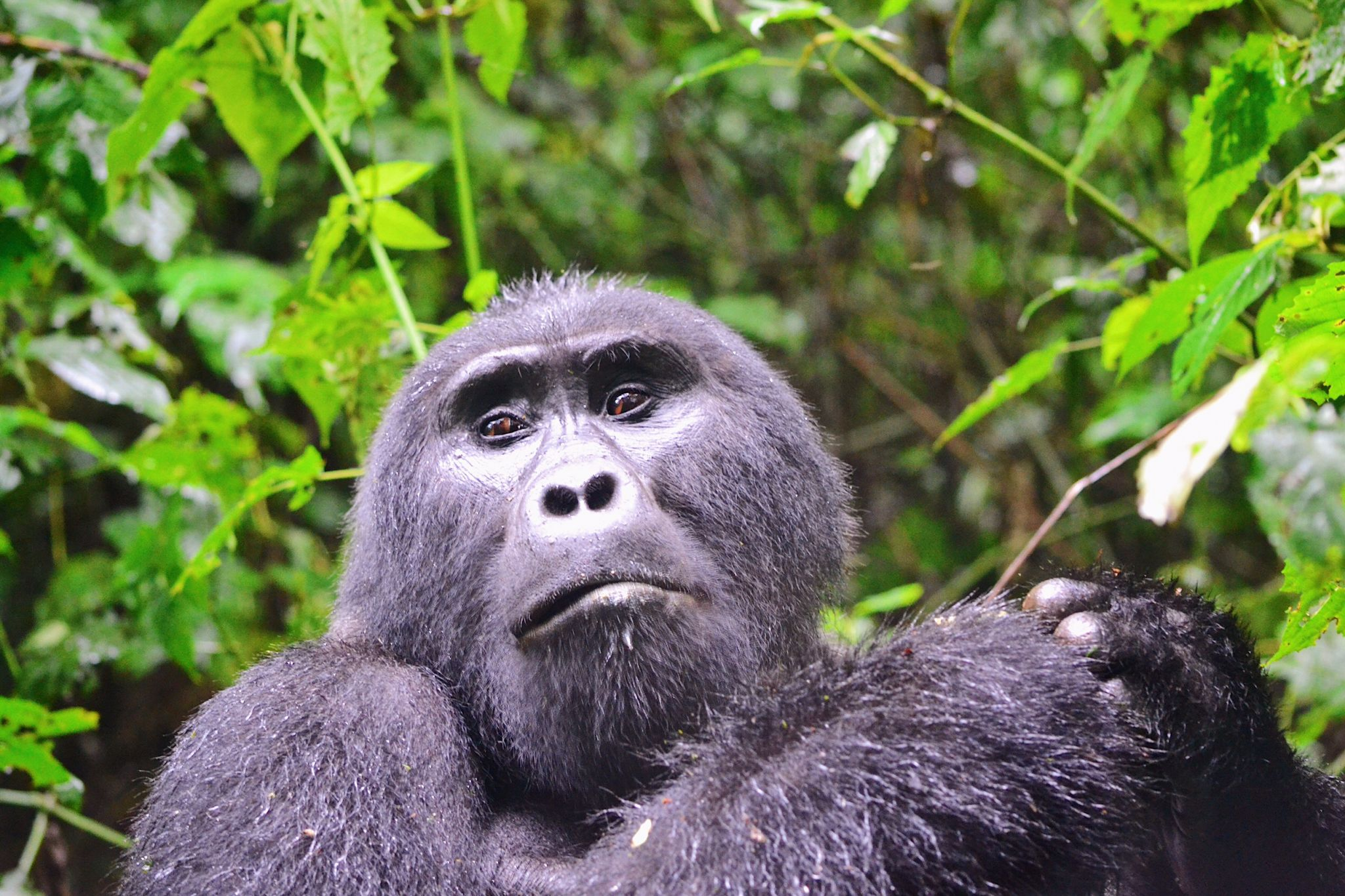 image of silverback seen when gorilla trekking