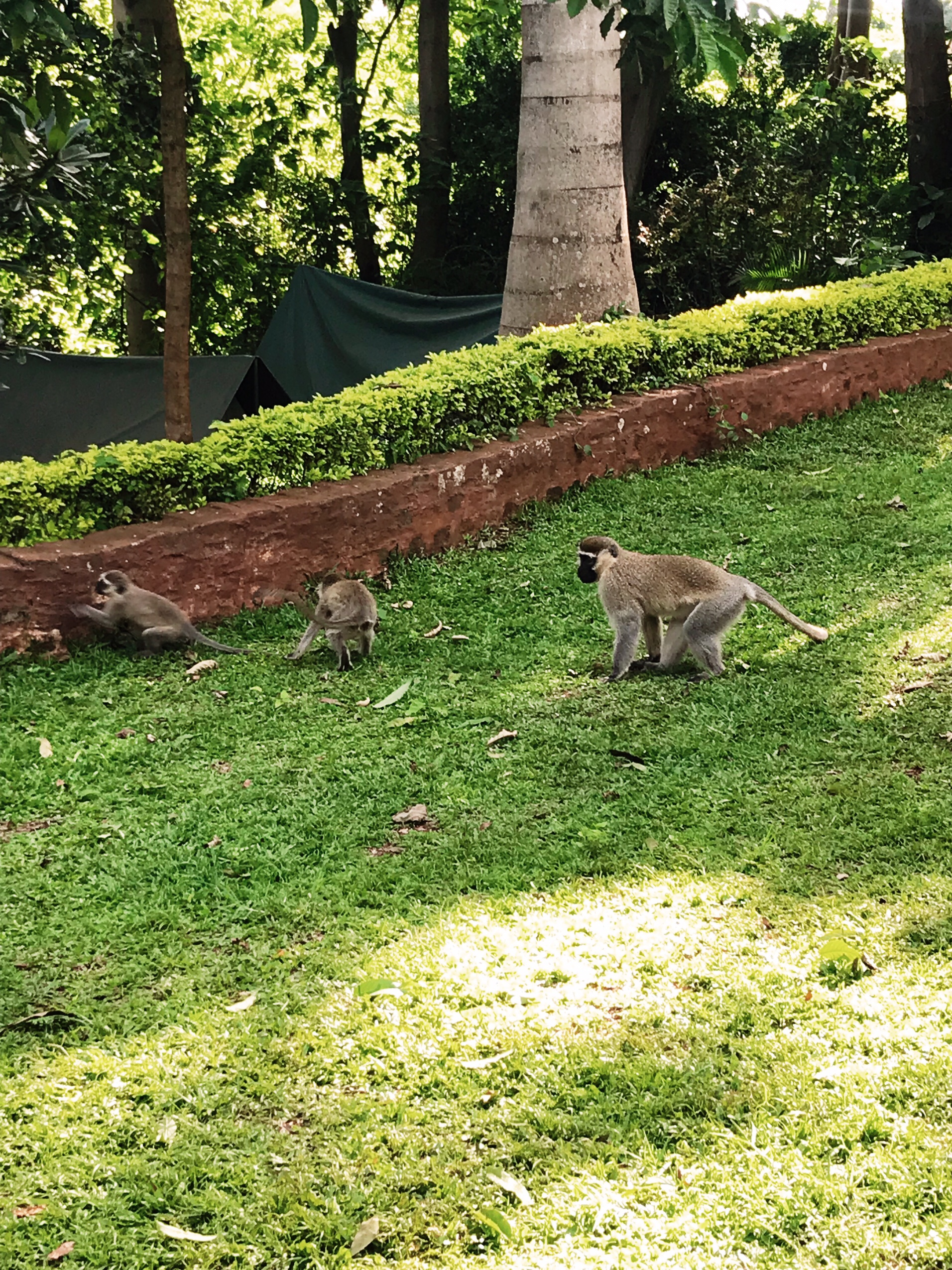 Image of monkeys in Nile River Explorers Camp in Jinja