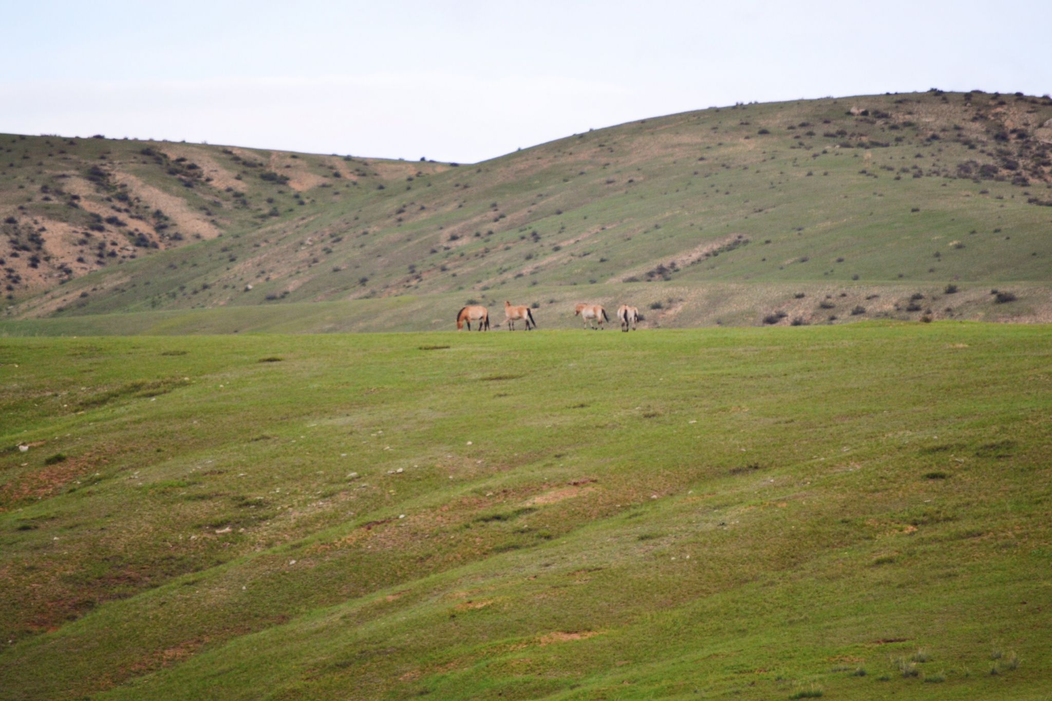 Picture of the wildlife Przewalski's Horses in Mongolia