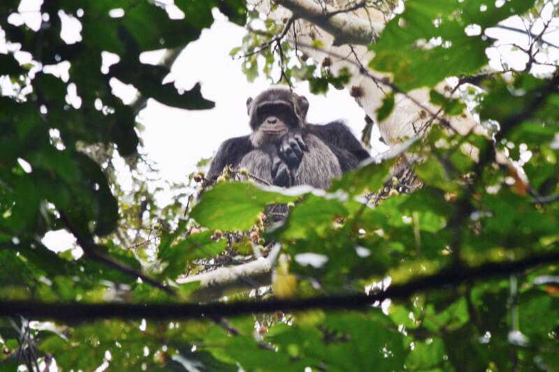 Picture of chimp wildlife in Uganda