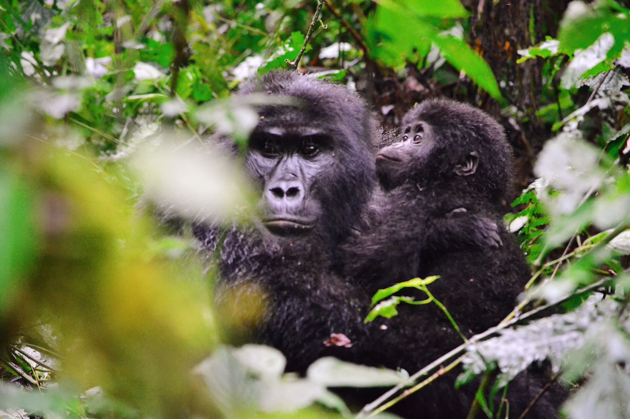 Picture of gorilla wildlife in Uganda