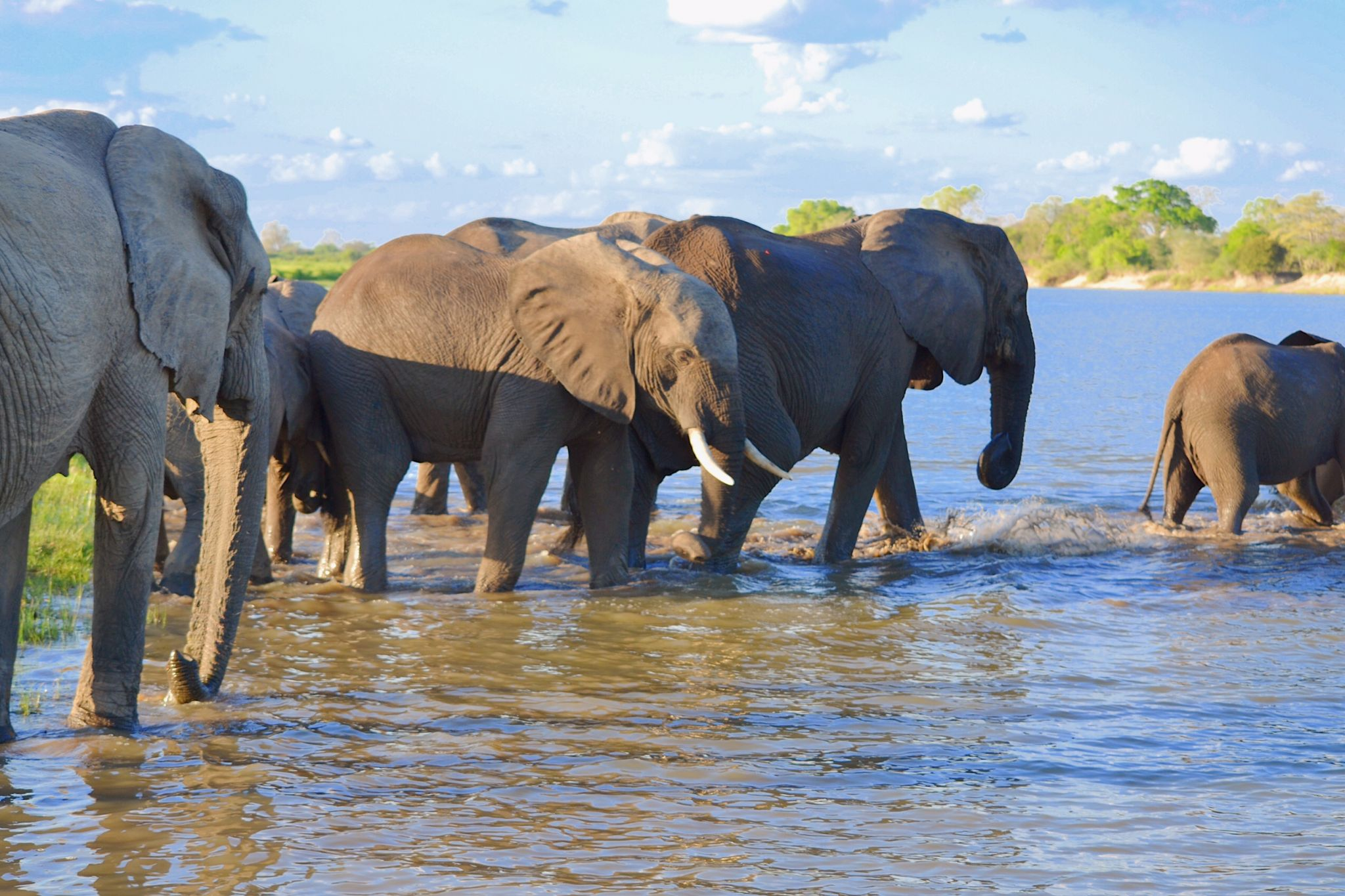 Picture of elephant wildlife crossing Rufji river in Selous