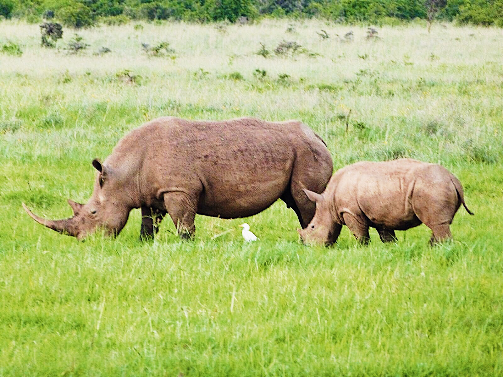 Picture of wildlife rhino in Nairobi
