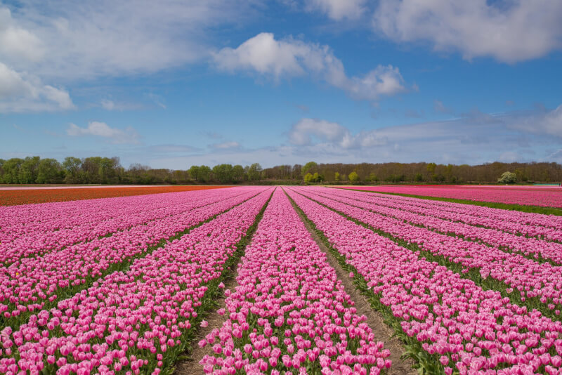 image of tulip fields in Netherlands