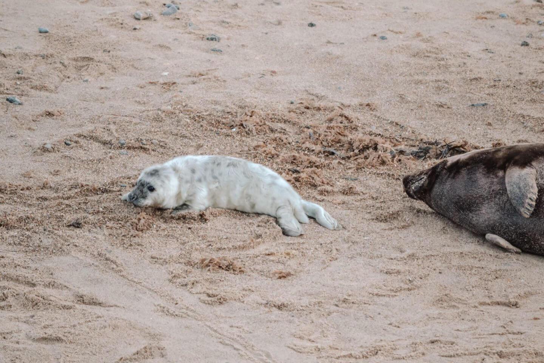 image of newborn seal pup at horsey