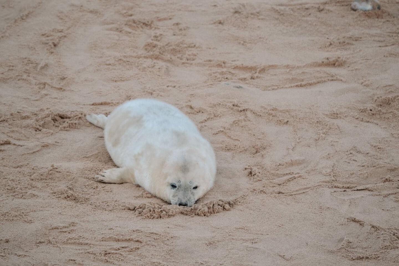 image of a grey seal pup