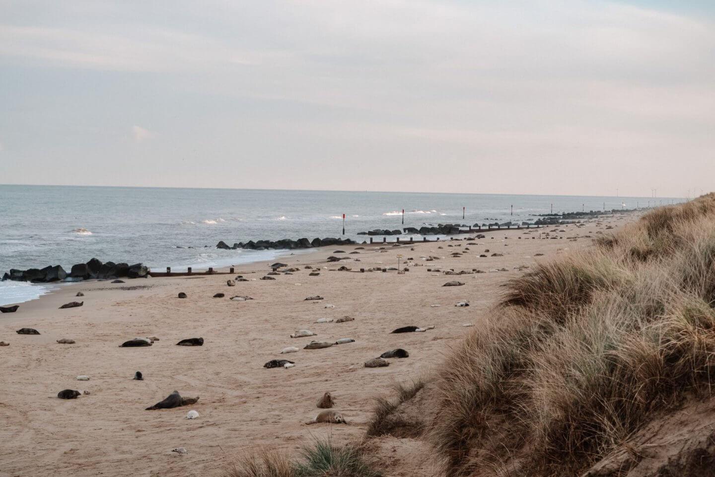 image of seals on horsey gap beach